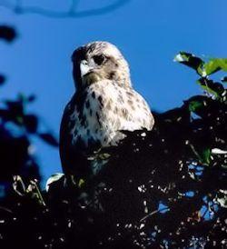 Hawaiian-Hawk