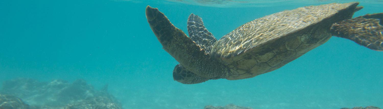 Turtle Swimming at Punaluu